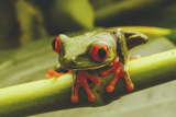 Close View of a Red-Eyed Tree Frog