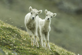 Two Dall's Sheep Lambs Walk on a High Meadow