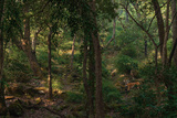 A Male Tiger Roams Through the Jungle in Bandhavgarh National Park