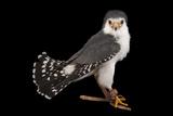An African Pygmy Falcon  Polihierax Semitorquatus  at the Houston Zoo