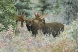 A Moose with Velvet Hanging on its Antlers Appears to Smile