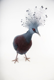 A Vulnerable Victoria Crowned Pigeon  Goura Victoria  at Sylvan Heights Bird Park