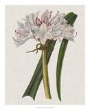Crinium Lily I
