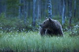 A European Brown Bear  Ursus Arctos  Walking in the Forest at Night  Kuhmo  Finland