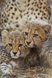 A Pair of Cheetah Cubs  Acinonyx Jubatus  in Phinda Game Reserve  South Africa