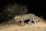 A Remote Camera Trap Captures a Leopard Kalama Conservancy  Samburu  Kenya