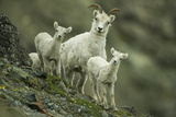 A Mother Dall's Sheep and Her Twin Lambs Stand Still on the Ridge