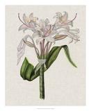 Crinium Lily II