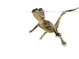 American Alligator (Alligator Mississipiensis) Baby Swimming  Split-Level  Florida  USA