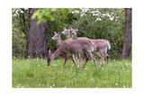 A Group Of White Tailed Deer Grazing