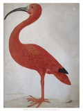 Scarlet Ibis with an Egg  1699 - 1700