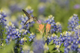 Black-Chinned Hummingbird and Blooming Prairie Paintbrush  Texas  USA