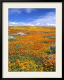 California Poppy Reserve  Lancaster  California  USA