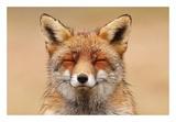 Zen Fox Red Portrait Reproduction d'art