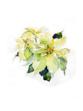 White Poinsettia  2014
