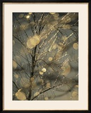 The Frozen Branches of a Small Birch Tree Sparkle in the Sunlight  Waynesboro  Pennsylvania