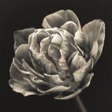 Tulipana Still