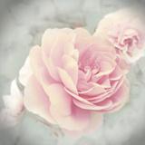 Belle Rose II