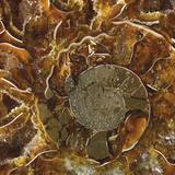 Ammonite - Spiral