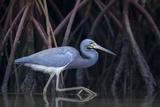Stalking in the Mangroves