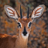 Steenbok  One of the Smallest Antelope in the World