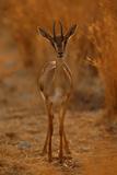 Gazella Portrait