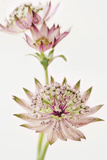 Astrantia Spray