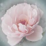 Belle Rose III