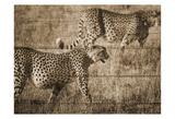 Safari Team