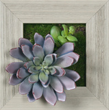 *Exclusive* Lavender Succulent Square - Farmhouse Gray