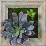 *Exclusive* Lavender Succulent Square - Barnwood Sage