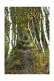 Birch Path II
