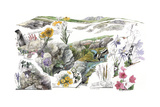 A Drawing of the Wildflowers in America's Alpine Tundras