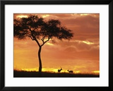 Gazelle Grazing Under Acacia Tree at Sunset  Maasai Mara  Kenya