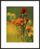 Red Indian Paintbrush Flower in Springtime  Nature Conservancy Property  Maxton Plains