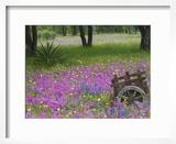 Wooden Cart in Field of Phlox  Blue Bonnets  and Oak Trees  Near Devine  Texas  USA