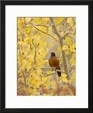 Male American Robin in Aspen Tree  Grand Teton National Park  Wyoming  USA