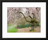 Cherry Trees Blossoming in the Spring  Washington Park Arboretum  Seattle  Washington  USA