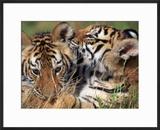 Two Bengal Tiger Cubs Bonding