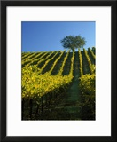 Fall Foliage in Vineyard  Sonoma  CA