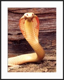 Albino Monocled Cobra  Native to SE Asia