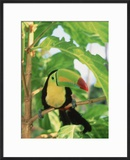 Toucan Perched on a Branch