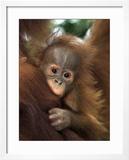 Baby Sumatran Orangutan  Indonesia