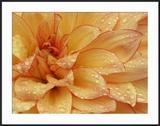 Dahlia Flower with Petals Radiating Outward  Sammamish  Washington  USA