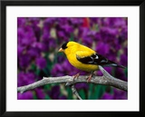 American Goldfinch in Summer Plumage