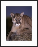 Mountain Lion on Rock at Dusk  Felis Concolor