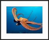 Day Octopus  near Kona  Big Island  Hawaii  USA