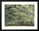 Live Oak Tree Draped with Spanish Moss  Savannah  Georgia  USA