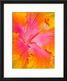Pink and Yellow Hibiscus  San Francisco  California  USA