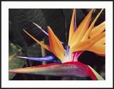 Bird of Paradise  Maui  Hawaii  USA